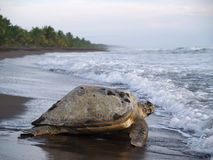 Sea turtle in Tortuguero National Park, Costa Rica. Sea turtle diggin in the sand to put her eggs on August 2010, in Tortuguero National Park, Costa Rica Stock Photo