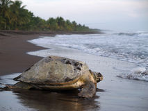 Sea turtle in Tortuguero National Park, Costa Rica. Sea turtle crawling from the beach to the sea in Tortuguero National Park, Costa Rica Stock Images