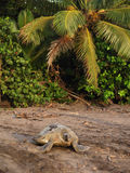 Sea turtle in Tortuguero National Park, Costa Rica. Sea turtle crawling from the beach to the sea in Tortuguero National Park, Costa Rica royalty free stock image