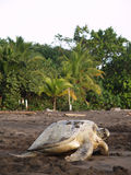 Sea turtle in Tortuguero National Park, Costa Rica Stock Photography