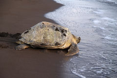 Sea turtle in Tortuguero National Park, Costa Rica Stock Image