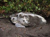 Sea turtle in Tortuguero National Park, Costa Rica Stock Images