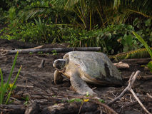 Sea turtle in Tortuguero National Park, Costa Rica. TORTUGUERO, COSTA RICA - AUGUST 18: Tourist enjoy observing a sea turtle crawling from the beach to the sea royalty free stock photo
