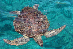 Marine turtle Royalty Free Stock Photo