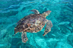 Marine turtle Stock Photo