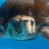 Sea turtle. Trip to Loggerhead Marinelife Center stock photos