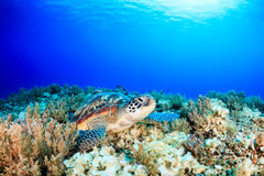 Sea turtle on a tropical coral reef with sunbeams above Stock Photography