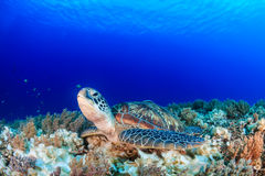 Sea turtle on a tropical coral reef with sunbeams above Royalty Free Stock Photography