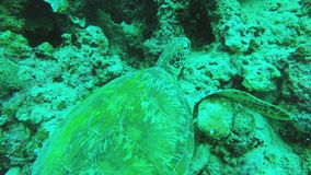 Sea turtle in the tropical sea stock video