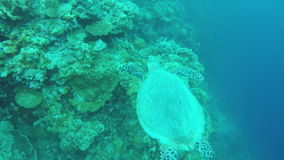 Sea turtle in the tropical sea. Sea turtle swimming by coral reef.Diving and snorkeling in the tropical sea.Travel concept,Adventure concept stock video