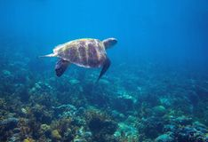 Sea turtle in tropical seashore. Green sea turtle closeup. Wildlife of tropical coral reef. Tortoise undersea. Tropical lagoon ecosystem. Big turtle in blue Royalty Free Stock Photos