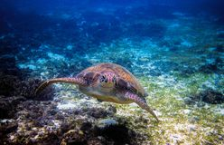 Sea turtle in tropical seashore. Tropical sea nature of exotic island. Green turtle in blue sea water. Sea tortoise undersea. Green tortoise in tropical lagoon Royalty Free Stock Photo