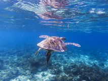 Sea turtle in tropical seashore. Seaworld underwater photo. Green turtle undersea. Royalty Free Stock Photo