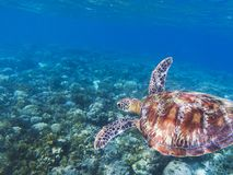 Sea turtle in tropical seashore. Seaworld underwater photo. Green turtle undersea. Royalty Free Stock Image