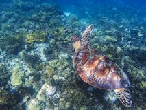 Sea turtle in tropical seashore underwater photo. Cute green turtle undersea. Marine tortoise swims above coral reef. Marine sanctuary for endangered species Royalty Free Stock Photo