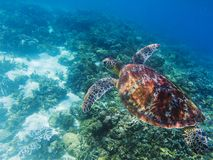 Sea turtle in tropical seashore underwater photo. Cute green turtle undersea. Stock Images
