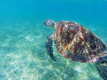 Sea turtle in tropical seashore, underwater photo of marine wildlife. Diving with sea turtle. Marine turtle undersea. Closeup. Wild animal of tropic sea royalty free stock images