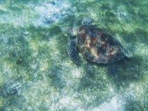 Sea turtle in tropical seashore, underwater photo of marine wildlife. Sea turtle feeding habit. Marine turtle undersea. Closeup. Wild animal of tropic sea stock photography