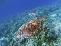 Sea turtle in tropical sea shore underwater photo. Cute green turtle undersea. Royalty Free Stock Photo