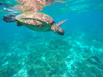 Sea turtle in turquoise water. Green sea turtle close photo. Lovely tortoise closeup. Stock Photos