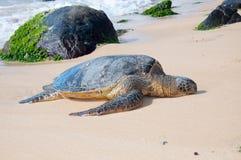 Sea turtle in turtle bay, Oahu island, Hawaii Royalty Free Stock Photos