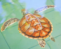 A sea turtle. At 'Sea Turtles Conservation Center Royal Thai Navy', Thailand Stock Photos