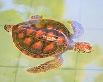 A sea turtle. At 'Sea Turtles Conservation Center Royal Thai Navy', Thailand Stock Image