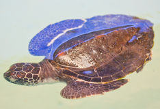 A sea turtle. At 'Sea Turtles Conservation Center Royal Thai Navy', Thailand Stock Images
