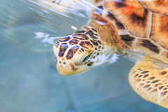 A sea turtle. At 'Sea Turtles Conservation Center Royal Thai Navy', Thailand Stock Photography