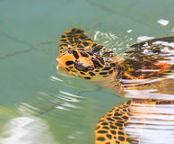 A sea turtle. At 'Sea Turtles Conservation Center Royal Thai Navy', Thailand Stock Photo