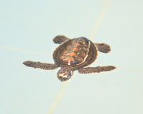 A sea turtle. At 'Sea Turtles Conservation Center of Thai Navy', Thailand Stock Photos