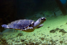 Sea turtle Stock Image