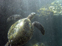 Sea Turtle under surf zone stock photo
