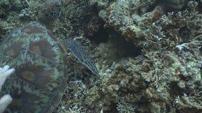 Sea turtle under water. stock video footage