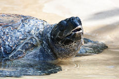 Sea Turtle Under Water Royalty Free Stock Photos