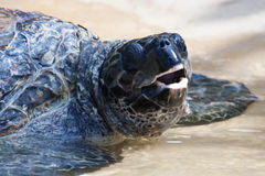 Sea Turtle Under Water Royalty Free Stock Photography