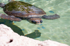 Sea Turtle Under Water Royalty Free Stock Images