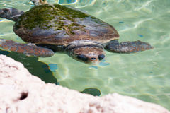 Sea Turtle Under Water Stock Photography