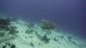 Sea turtle under water. stock video