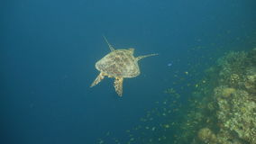 Sea turtle under water. stock video footage