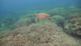 Sea turtle under water. stock video