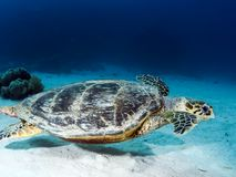 Sea turtle in the sea under water swims. Marine reptile. Underwater shooting. Coral reef and its inhabitants royalty free stock images