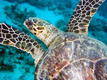 Sea turtle in the sea under water swims. Marine reptile. Underwater shooting. Coral reef and its inhabitants stock photo