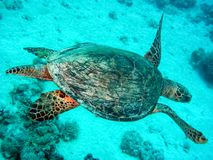 Sea turtle in the sea under water swims. Marine reptile. Underwater shooting. Coral reef and its inhabitants stock images