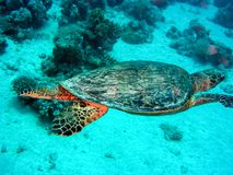 Sea turtle in the sea under water swims. Marine reptile. Underwater shooting. Coral reef and its inhabitants royalty free stock photos