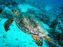 Sea turtle in the sea under water swims. Marine reptile. Underwater shooting. Coral reef and its inhabitants stock photos