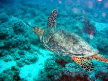 Sea turtle in the sea under water swims. Marine reptile. Underwater shooting. Coral reef and its inhabitants royalty free stock photography