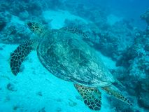 Sea turtle in the sea under water swims. Marine reptile. Underwater shooting. Coral reef and its inhabitants royalty free stock image