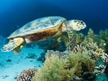 Sea turtle in the sea under water swims. Marine reptile stock photography