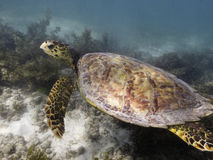 Sea turtle underwater Royalty Free Stock Photos